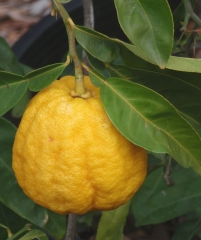 ichang lemon