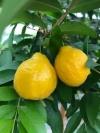 Eugenia pyriformis--плод оранжево-желтой  грушевидной формы