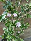 Serissa foetida variegata