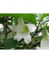 Beaumontia grandiflora albomarginata-бьюмонтия