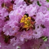 Lagerstroemia petite orchid