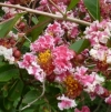 Lagerstroemia indica Bicolor pink and white