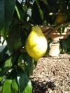 Лимон салицифолия (C. Limon Salicifolia) ИВОЛИСТНЫЙ ЛИМОН