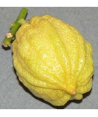 "c.limon canaliculata, ""Бороздчатый"" лимон)"