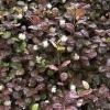 Lophomyrtus Kathryn -Новинка