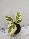 Ficus rubiginosa variegata -растение с фото