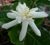 Gardenia taitensis 'Heaven Scent' (Compact) -круглый лист