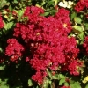 Lagerstroemia red imperator
