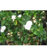 Серисса- foetida (double flower) махровый цветочек