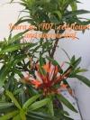 Ixora sp.(T07) red flower and narrow leaf  - цветочки красные .лист узкий