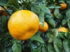 Citrus unshiu MICURINEC