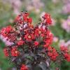 Lagerstroemia indica (цветы красные и черные листики)