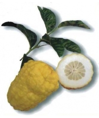 Citrus sp. VOZZA VOZZA