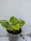 Wrightia antidysenterica variegated - растение с фото