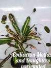 Codiaeum Mother and Daughters variegated