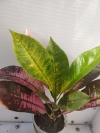 Codiaeum Mrs. Iceton (pink)