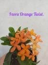 Ixora Orange Twist.