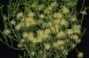 Melaleuca micromera-очень редкая